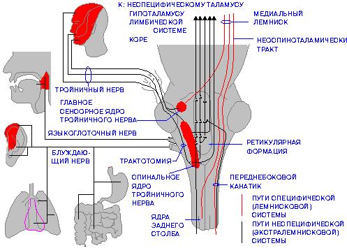 структур в стволе мозга